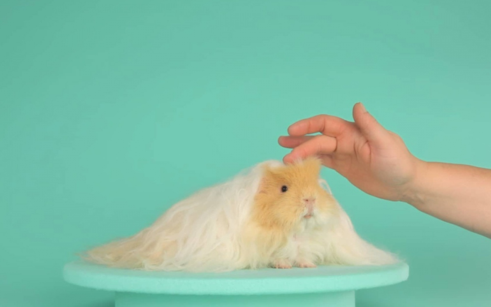 golden boy hamster beauty scissor design video hairdresser mindsparkle mag inspiration